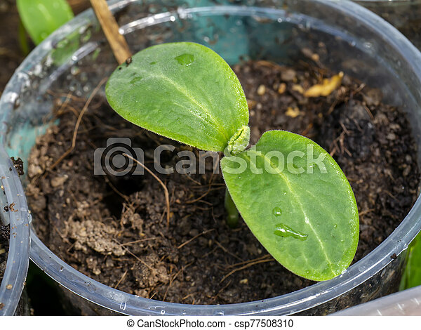 Close up Seedlings of Butternut Squash. - csp77508310