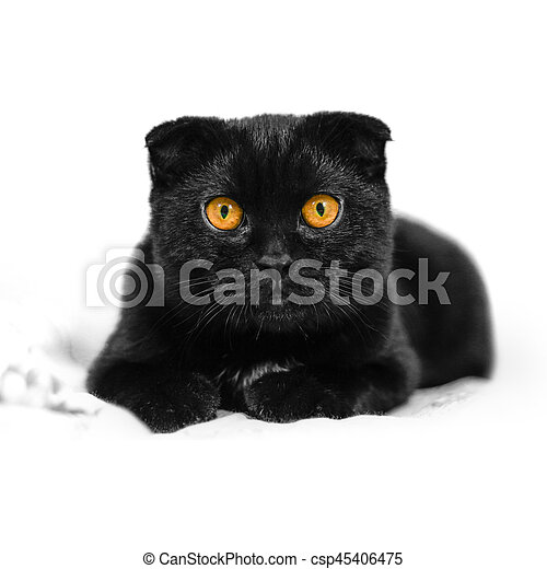 Close-up serious black Cat with Yellow Eyes in Dark. Face black Scottish fold cat with Golden eyes. Portrait of the cat. Cat looking at the camera lying on a sofa. Isolated on white background. - csp45406475