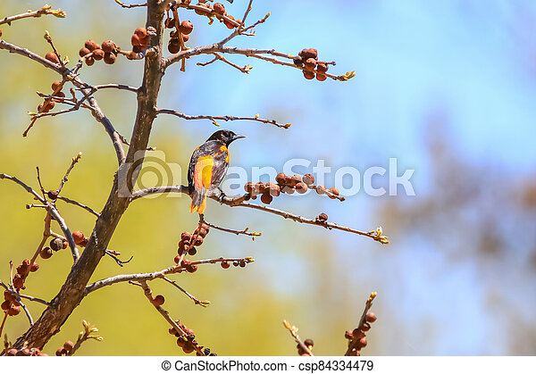 Close up shot of American Robin bird on a tree branch - csp84334479