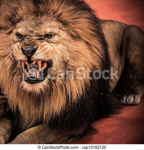 Close-up shot of  gorgeous roaring lion in circus arena - csp13162120