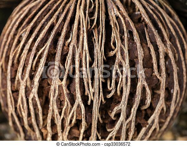 Close up surface of Cerbera odollam Gaertn seed. - csp33036572