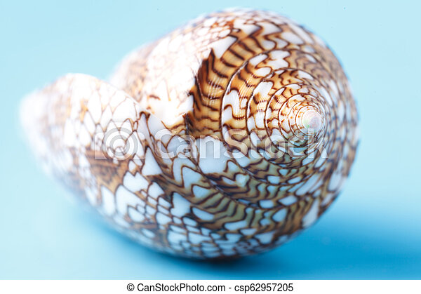 Close up view of big sea shell on plain blue background - csp62957205