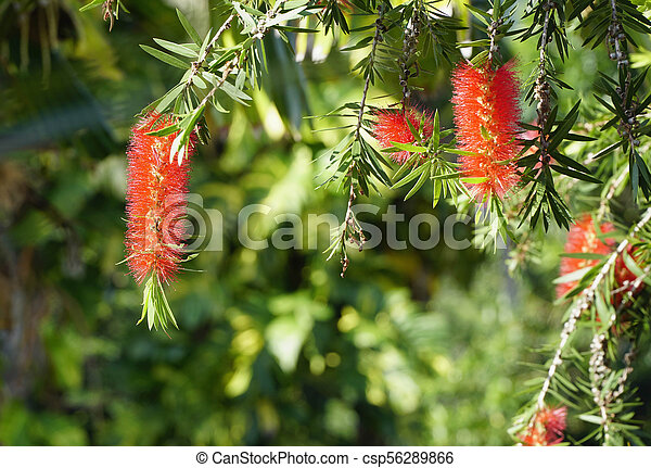close up view of bottle brush flower - csp56289866