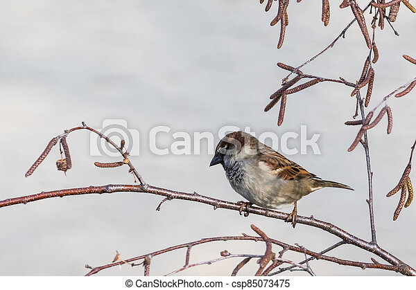 Close up view of house sparrow - csp85073475