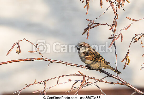 Close up view of house sparrow - csp85073485