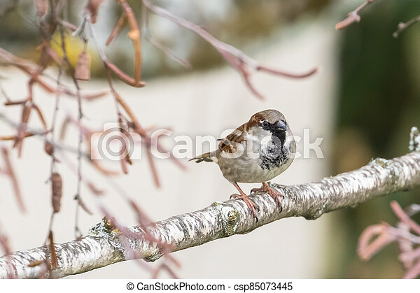 Close up view of house sparrow - csp85073445