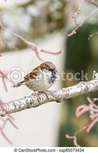Close up view of house sparrow - csp85073434
