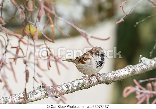 Close up view of house sparrow - csp85073437