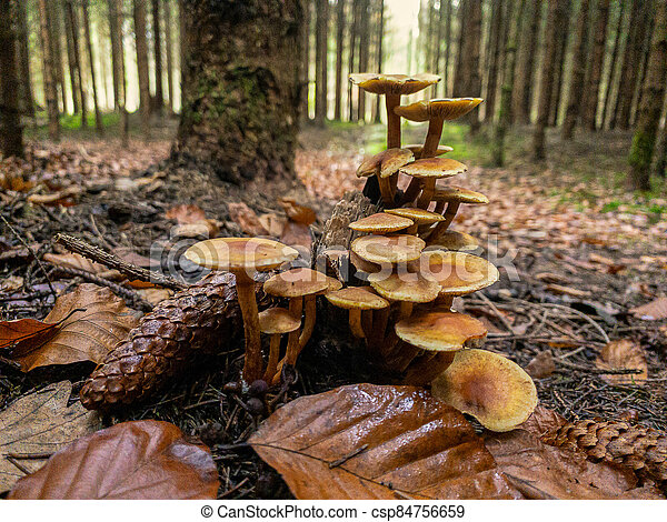 Close up view of several mushrooms in a beautiful autumn forest scenery. - csp84756659
