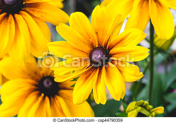 Close Up Yellow Flowers Close Up Cropped Image Of Black Eyed Susan