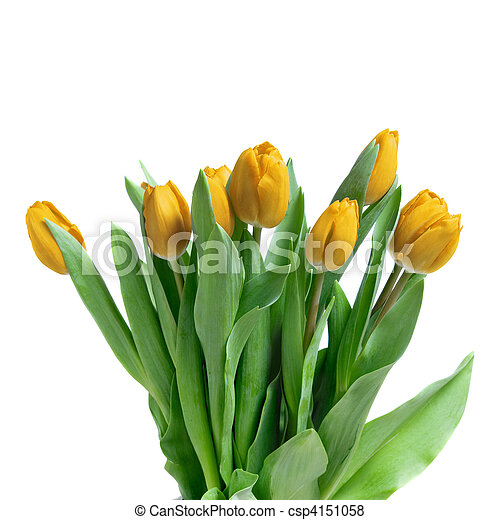 close-up yellow tulips isolated on white - csp4151058