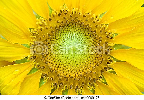 close-up, zonnebloem - csp0069175
