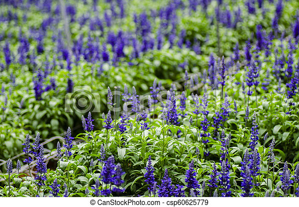 Closed up Lavender flower background in modern greenhouse with shallow depth of field - csp60625779