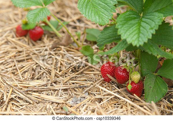 Closeup bush of strawberries 2 - csp10339346