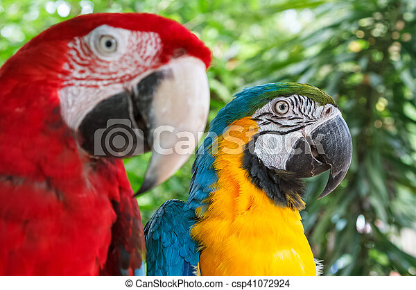 Closeup colorful couple macaws on green nature background - csp41072924