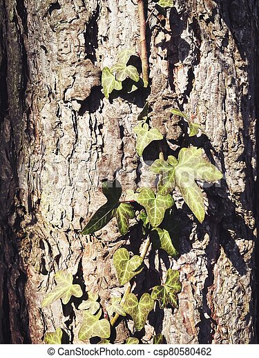Closeup details of Ivy growing up a pine tree trunk, climbing vine plant in woodland. - csp80580462