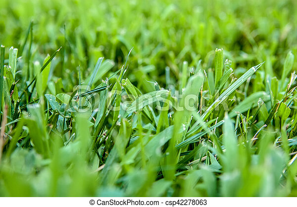 Closeup green fresh Cut grass shallow depth of field, selective focus, macro shot - csp42278063