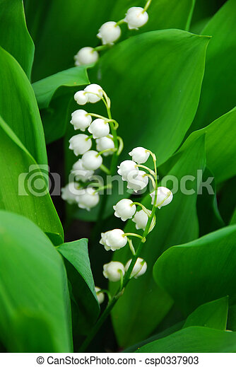 closeup, lily-of-the-valley - csp0337903