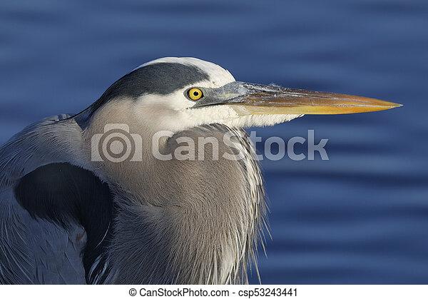 Closeup of a Great Blue Heron - Merritt Island National Wildlife Refuge, Florida - csp53243441