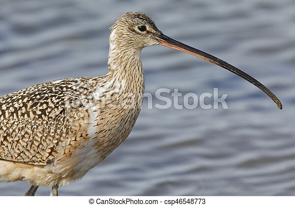 Closeup of a Long-billed Curlew - Monterey Peninsula, California - csp46548773