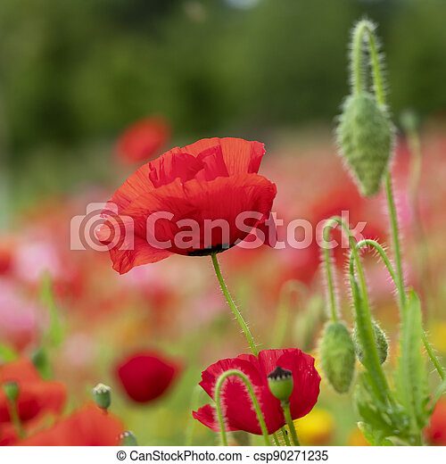 Closeup of a red poppy flower and buds in a garden - csp90271235