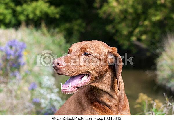 Closeup of a Vizsla Dog Outside in Autumn - csp16045843
