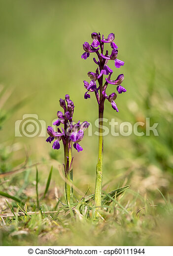 Closeup of a wild orchid in a meadow - csp60111944