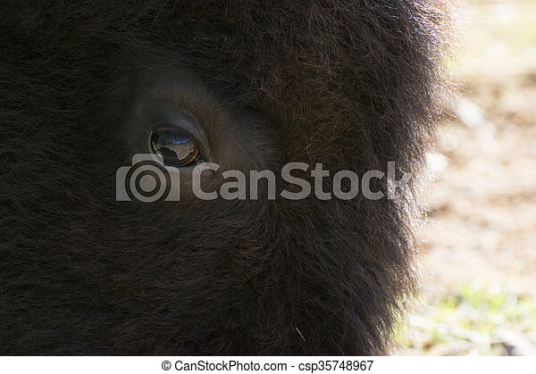 Closeup of American Bison Face - csp35748967