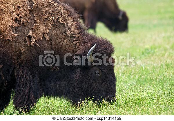 Closeup of American Bison - csp14314159