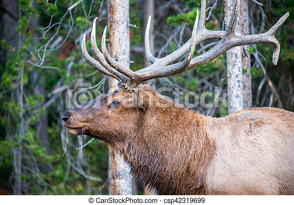 Closeup of an elk in yellowstone national park closeup of an elk csp42319699 publicscrutiny Image collections