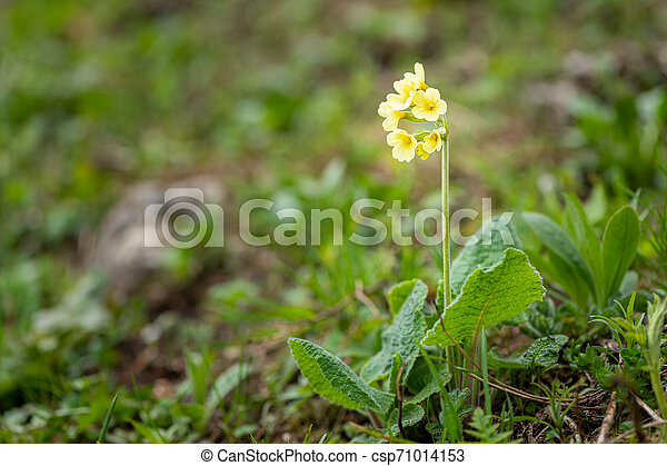 Closeup of an oxlip in the Austrian Alps - csp71014153