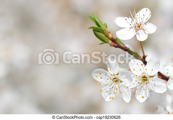 Closeup of apple tree blossom in early spring - csp19230626