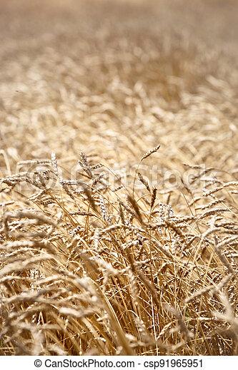 Closeup of barley in a field - csp91965951
