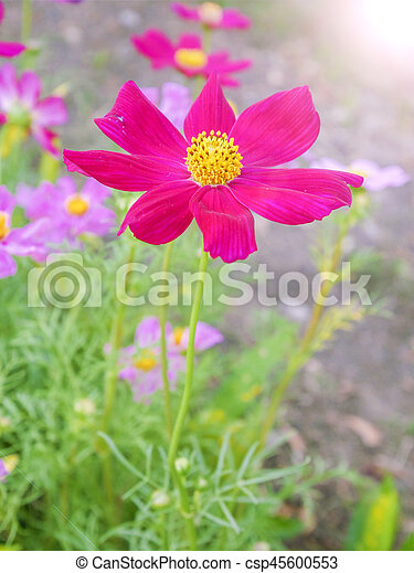 Closeup of beautiful pink flowers in the garden - csp45600553