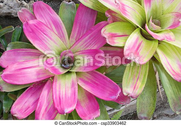 closeup of Bromeliad plants in the garden - csp33903462