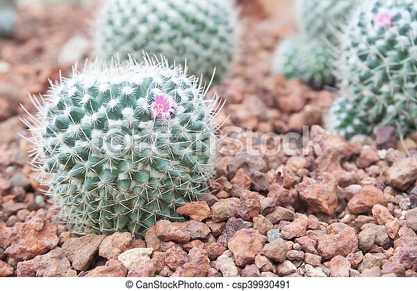 Closeup of cactus in the garden - csp39930491