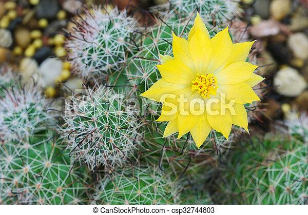 Closeup of cactus yellow flower mammillaria balsasoides stock closeup of cactus yellow flower csp32744803 mightylinksfo Images