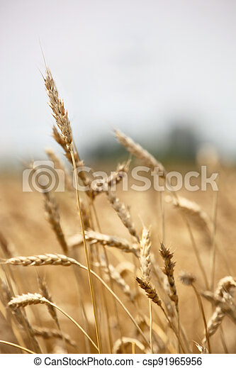 Closeup of ears of barley in a field ready for harvest - csp91965956
