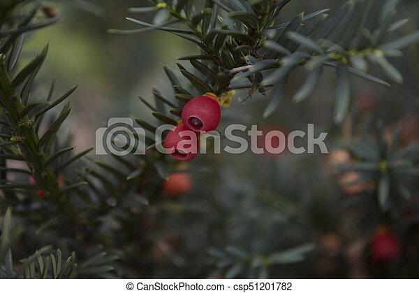 Closeup of english yew taxus baccata fruits - csp51201782
