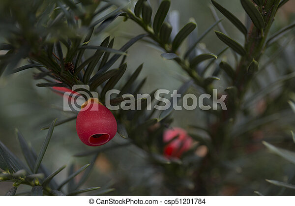 Closeup of english yew taxus baccata fruits - csp51201784