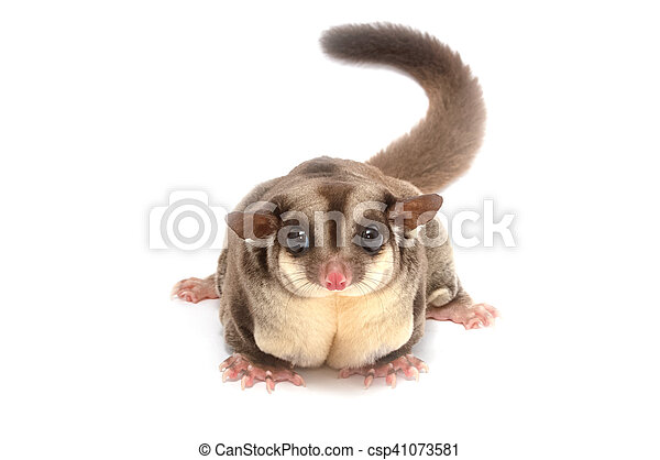 Closeup of female sugar glider standing on the floor isolate on white - csp41073581