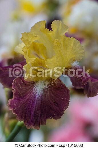 Closeup of flower bearded dainty purple yellow iris. Macro photo. - csp71015668