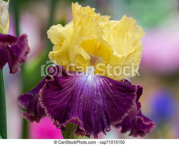 Closeup of flower bearded dainty purple yellow iris. Macro photo. - csp71015150