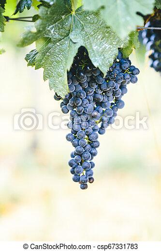 Closeup of fresh purple grape on branch in vineyard. - csp67331783