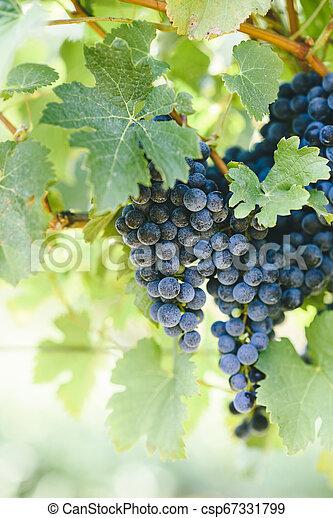 Closeup of fresh purple grape on branch in vineyard. - csp67331799