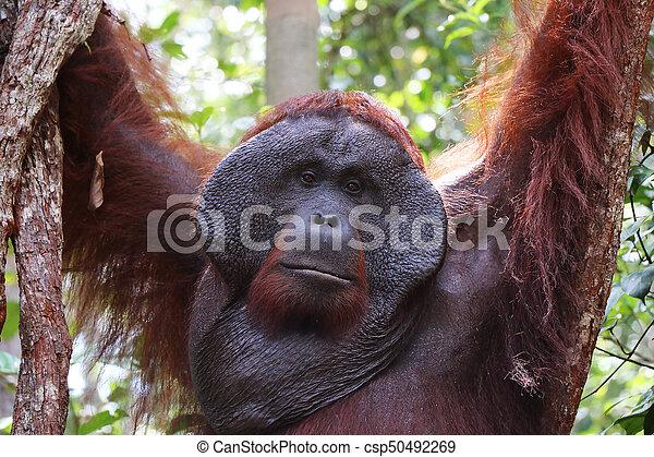 Closeup of hanging alpha male orangutan, Tanjung Puting National Park, Borneo. - csp50492269