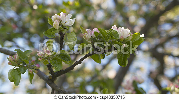 Closeup of light pink flowers on apple tree in sunny day wide photo closeup of light pink flowers on apple tree in sunny day csp48350715 mightylinksfo