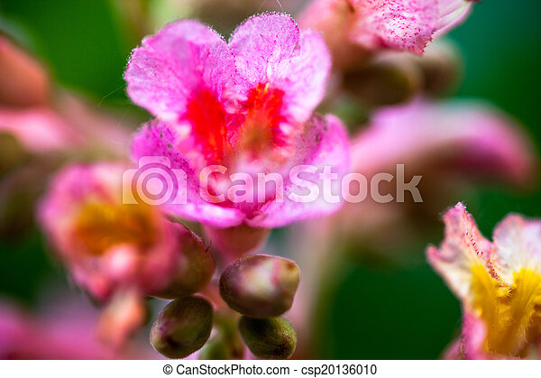Closeup of pink flowers of the horse chestnut tree mightylinksfo