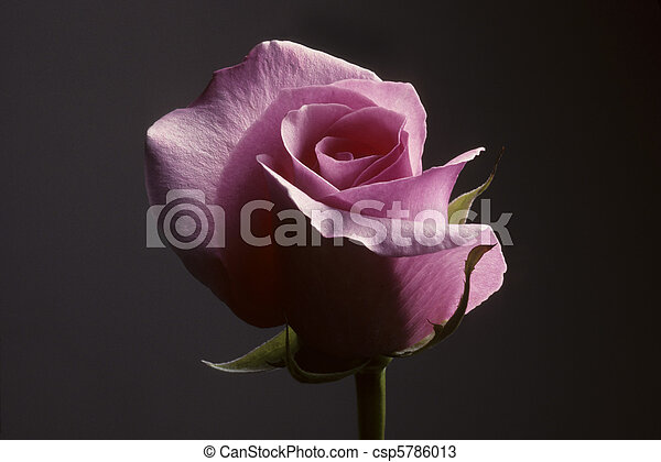 Closeup of pink rose against a gray background - csp5786013