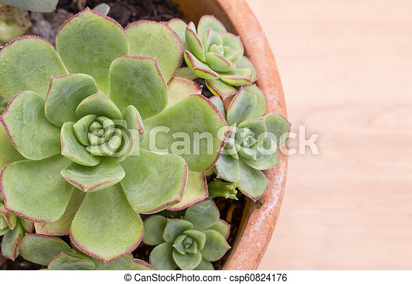Closeup of pot with gorgeous succulent Echeveria plant shaped like a rose, from Crassulaceae family. With copy space. - csp60824176